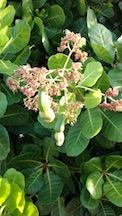 Cashew bush